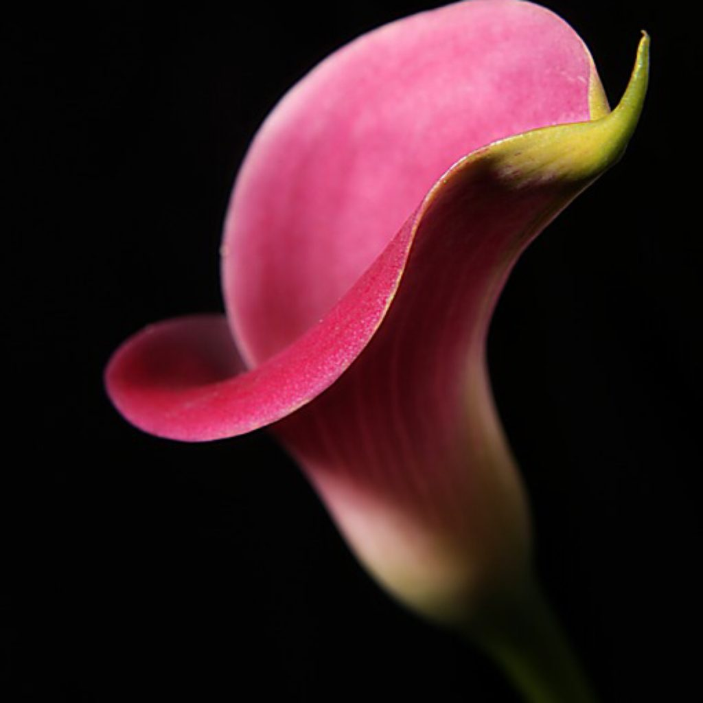 never had a smear: a close up shot of a pink flower