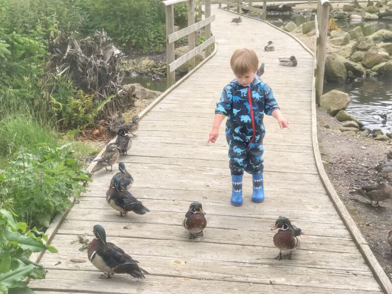 Dexter on a wooden path in martin mere next to some ducks